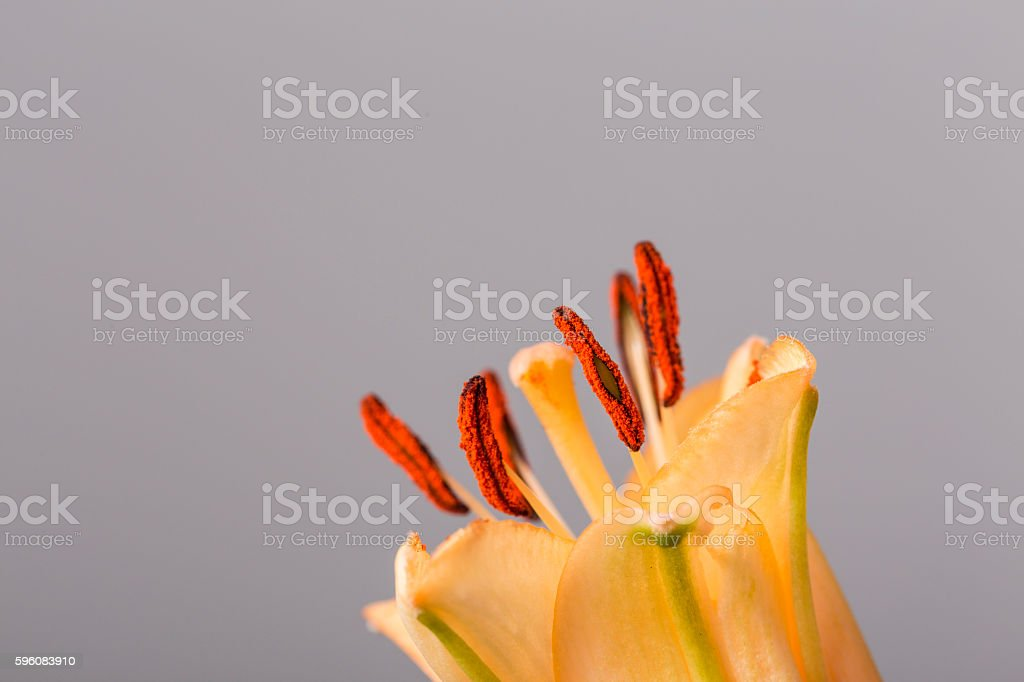 Red pistils in bloom on a grey background royalty-free stock photo