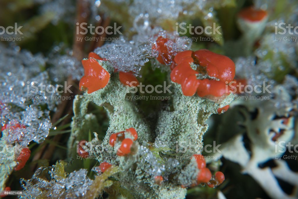 Red pixie cup lichen stock photo