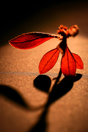Red plant and leafs, macro photography.