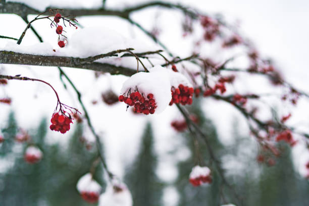 red plant tree berries covered with white snow stock photo