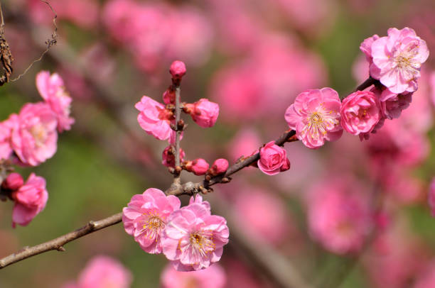 Red plum blooming in Spring stock photo