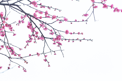 red plum blooming in with white background