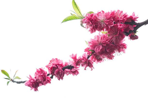 red plum blossom stock photo