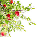 Red Plum branch , isolated on white background