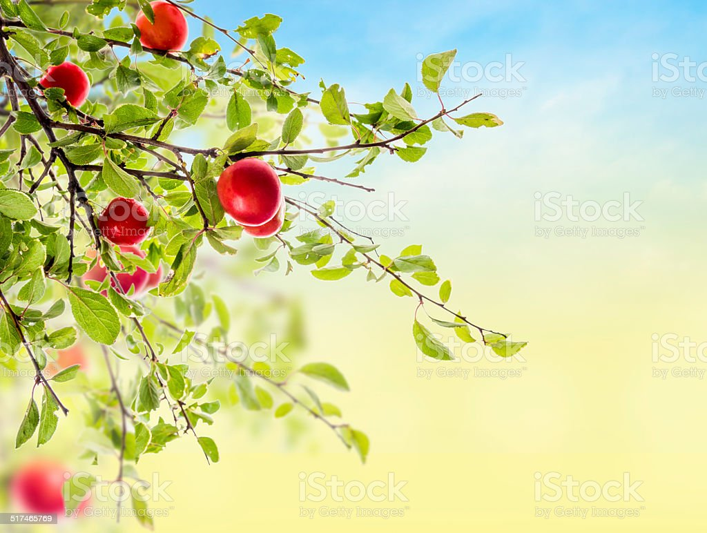 Red Plum branch on sky background in garden stock photo