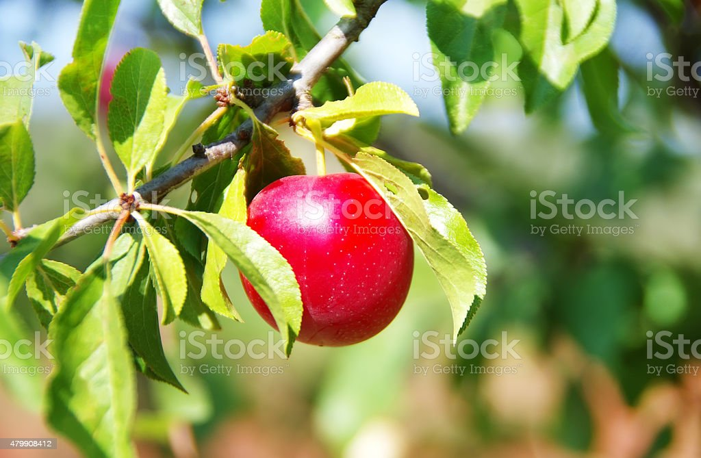 Red plum in the orchard stock photo