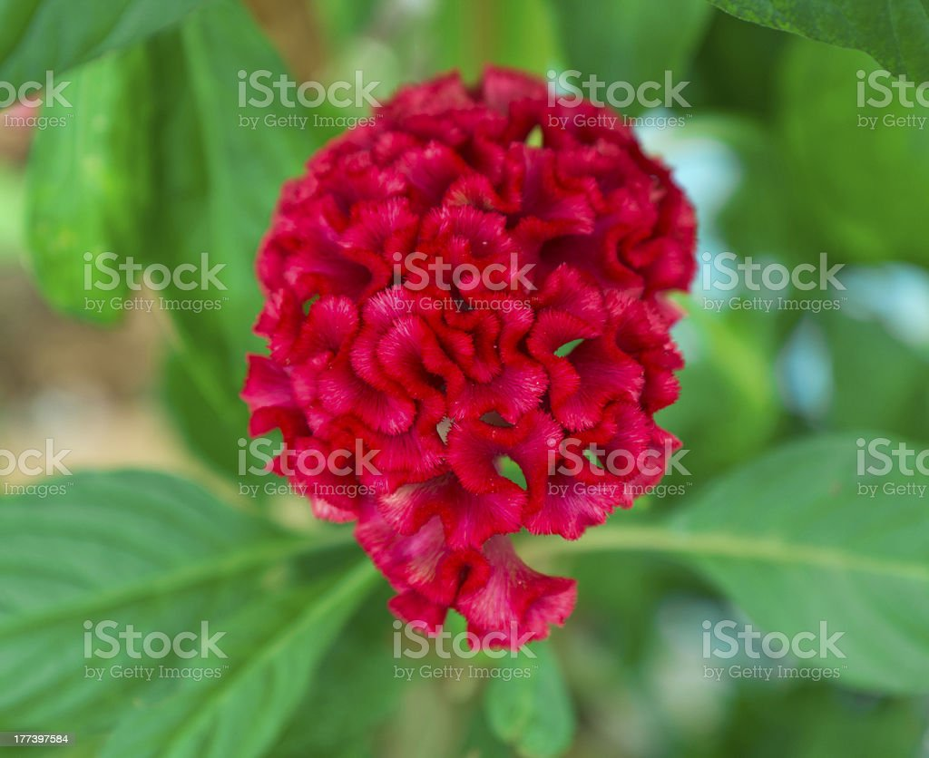 Red plumed cockscomb flower royalty-free stock photo