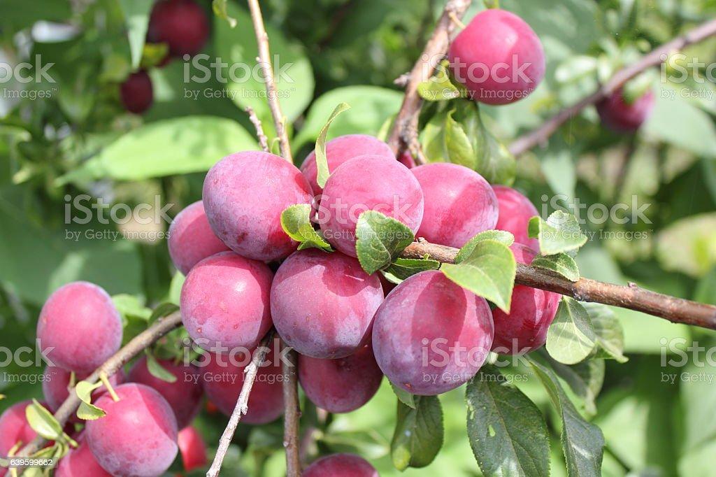 Red plums on tree - foto de acervo