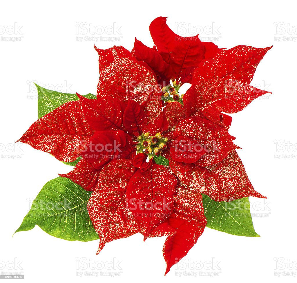 red poinsettia blossom with green leaves royalty-free stock photo