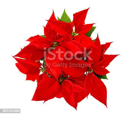 Red poinsettia christmas flower isolated white background stock red poinsettia christmas flower isolated white background stock photo more pictures of advent istock mightylinksfo