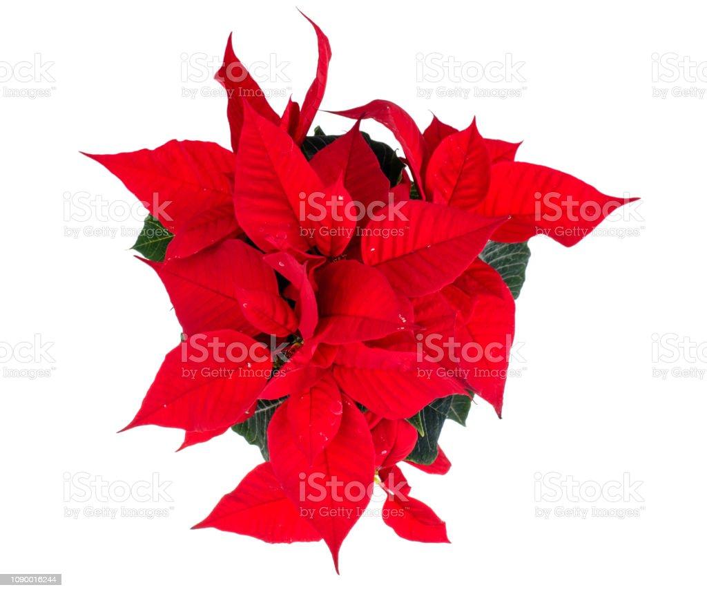 Origami Poinsettia Gift Topper - blossomsandposies.com | 860x1024