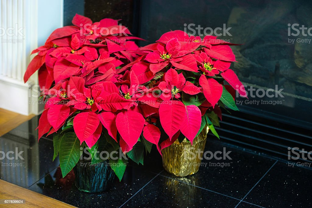 Red Poinsettia flowers, Christmas Star stock photo