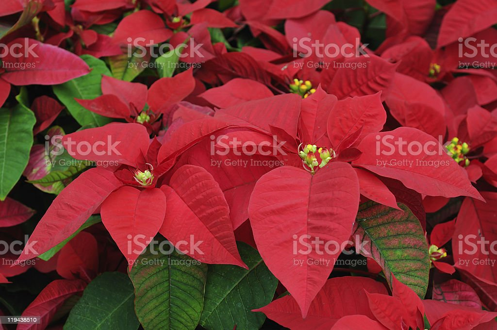 Red poinsettia flowers closeup stock photo
