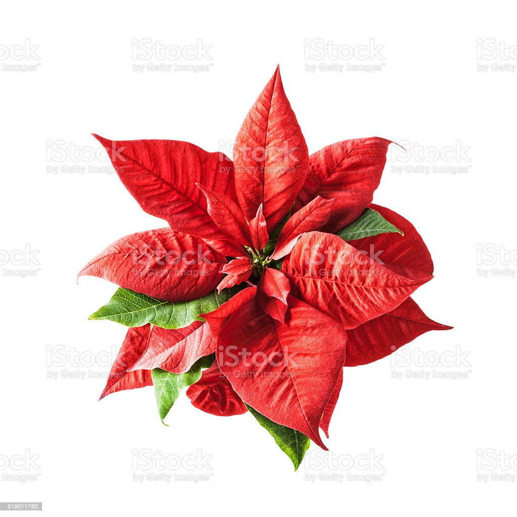 Red poinsettia stock photo