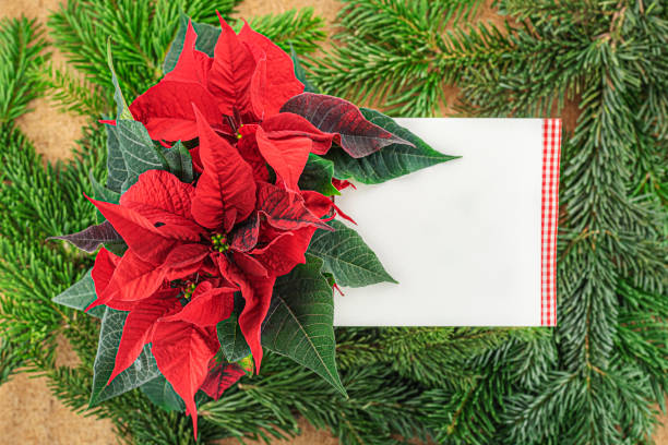 rote poinsettia mit einer leeren karte - weihnachtssterne aus papier stock-fotos und bilder