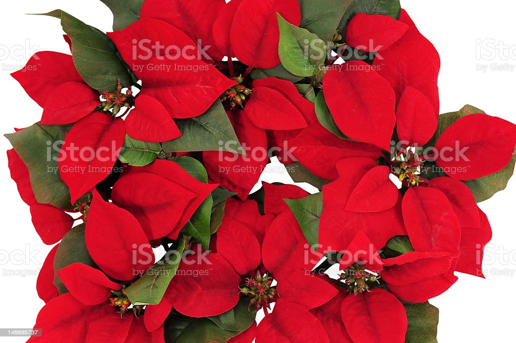 Red poinsettias royalty-free stock photo