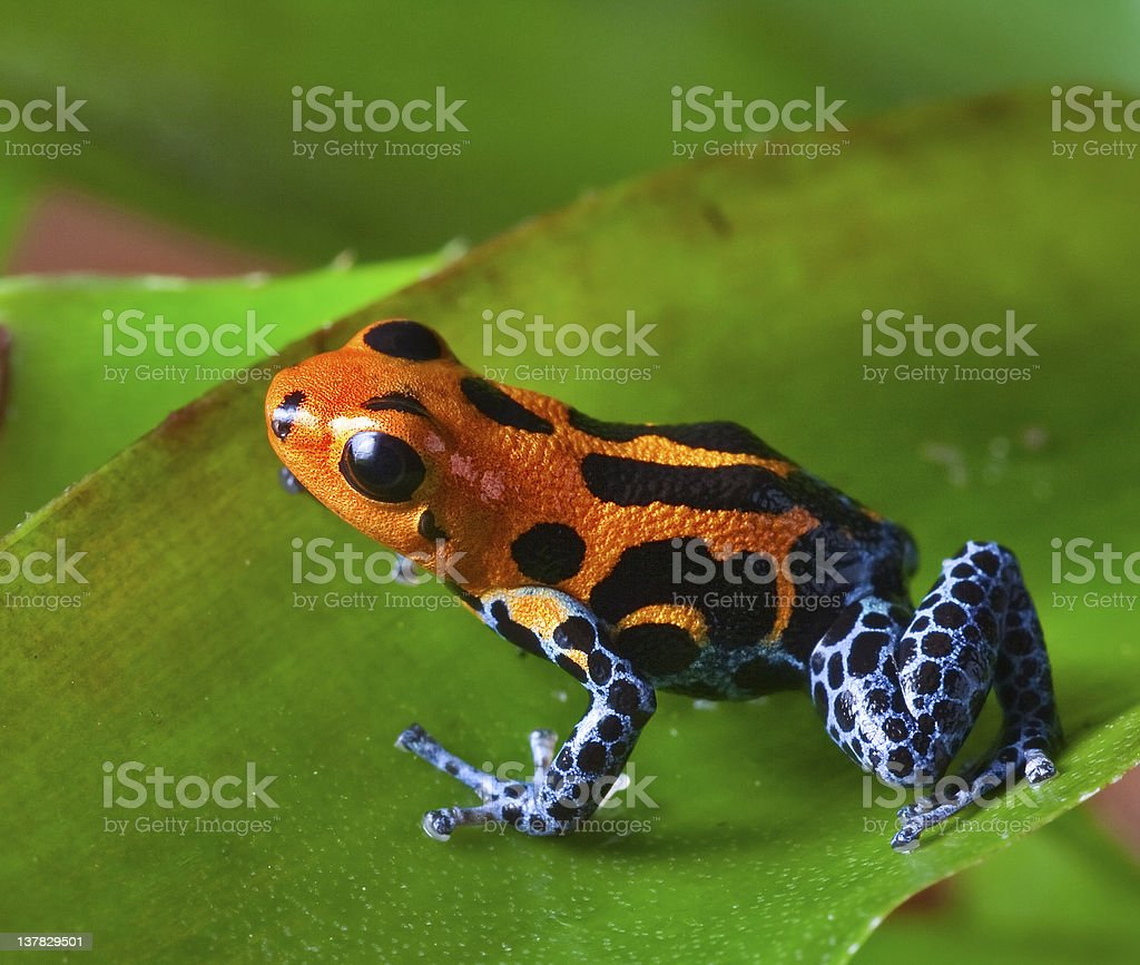 Red points on dart frog with black spots stock photo