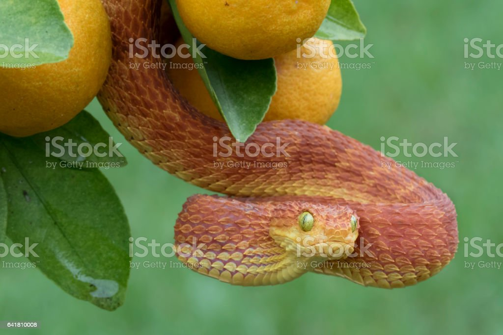 Red Poisonous Bush Viper Snake in Fruit Tree stock photo