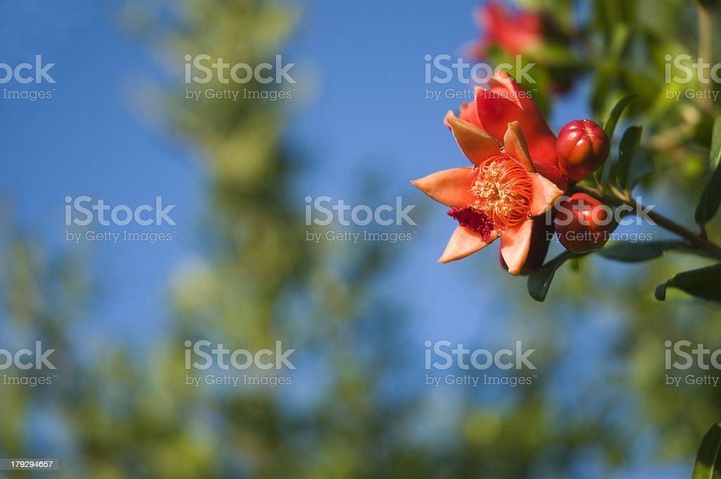 red pomegranate flourish royalty-free stock photo