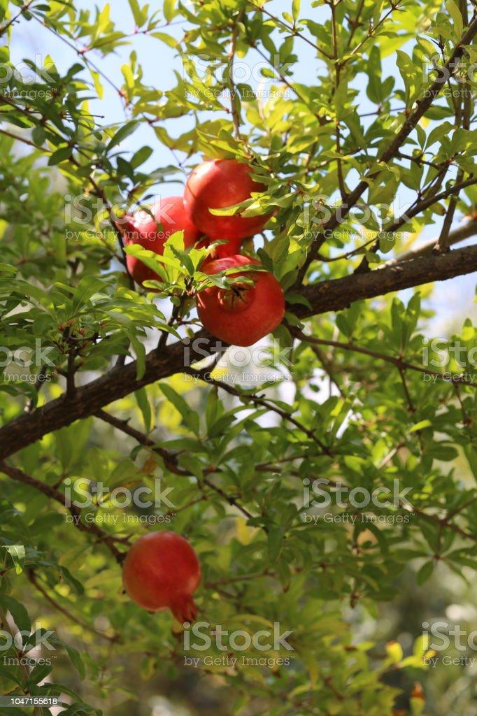 Romãs vermelhos em uma árvore - foto de acervo