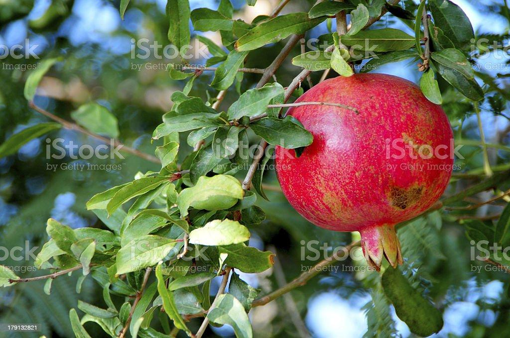red pomegranates on the tree stock photo