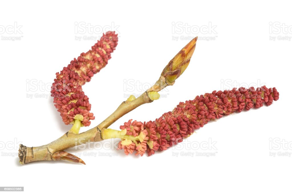 Red poplar catkins; stock photo