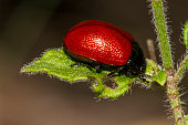 Close up view of the red poplar leaf beetle [Chrysomela populi].