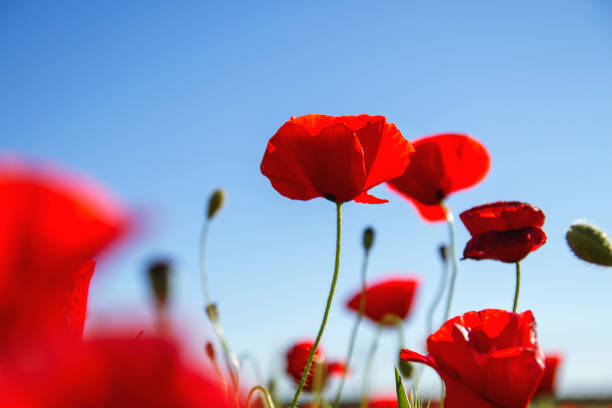 Royalty Free Poppy Pictures Images And Stock Photos Istock