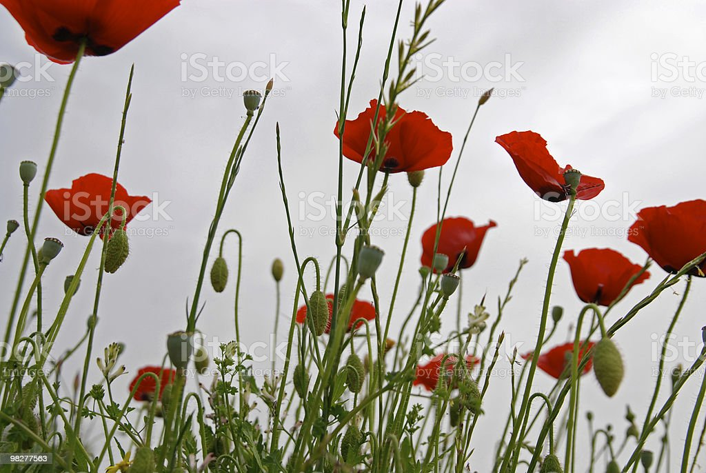 poppies contro nuvoloso cielo rosso foto stock royalty-free