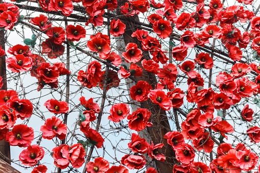 red poppies among barbed wire as a symbol of casualties of war