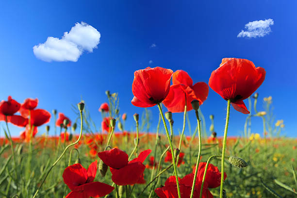 Red Poppies and Blue Sky stock photo