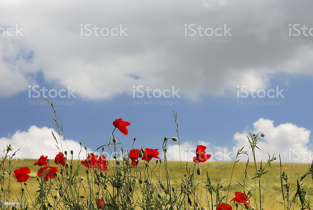 Red poppies and golden field royalty-free stock photo