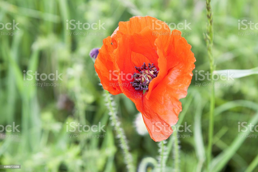 Red poppies anzac remembrance day world war stock photo
