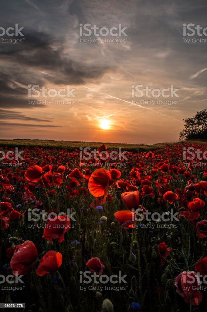 Red poppies at sunset stock photo