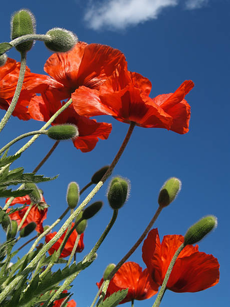 Red Poppies Blooming in May, Viewed from Below stock photo