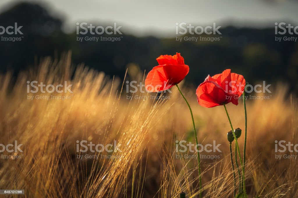 Red poppies catching the last golden sunlight in a wheat field foto