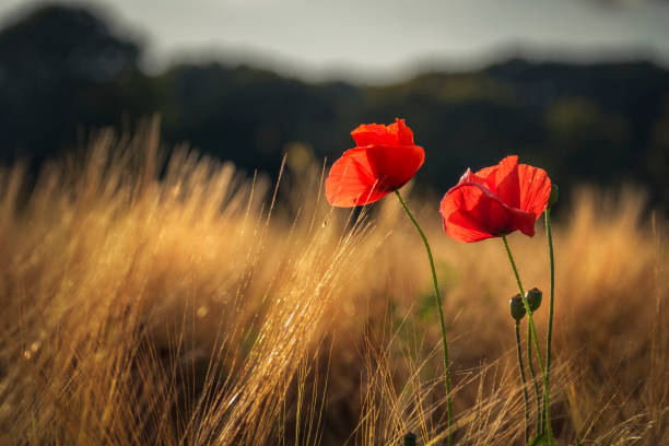 Red poppies catching the last golden sunlight in a wheat field​​​ foto