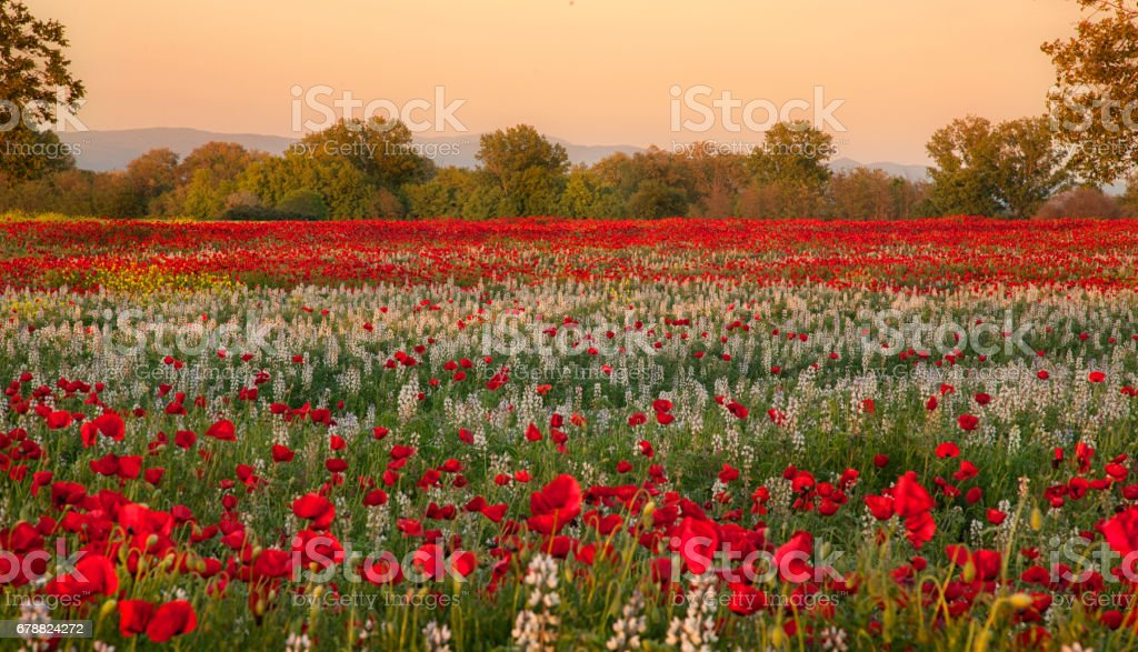 Red Poppies Field in sunset photo libre de droits