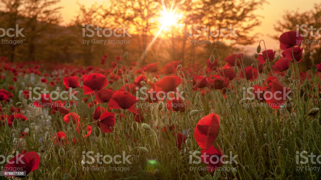 Red Poppies Field in sunset royalty-free stock photo