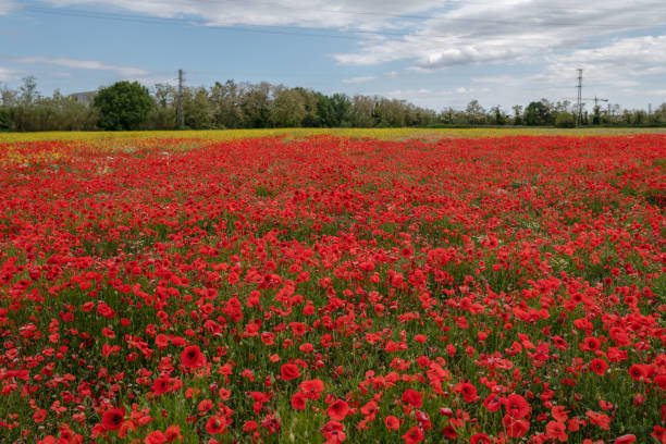 Red poppies field stock photo