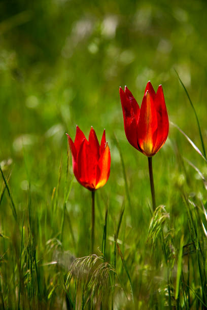red poppies flower field spring season stock photo