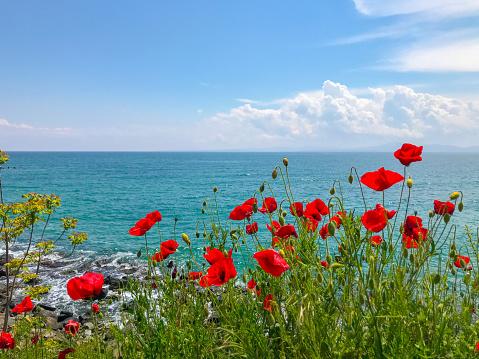 Red Poppies Flowering In Pomorie, Bulgaria.