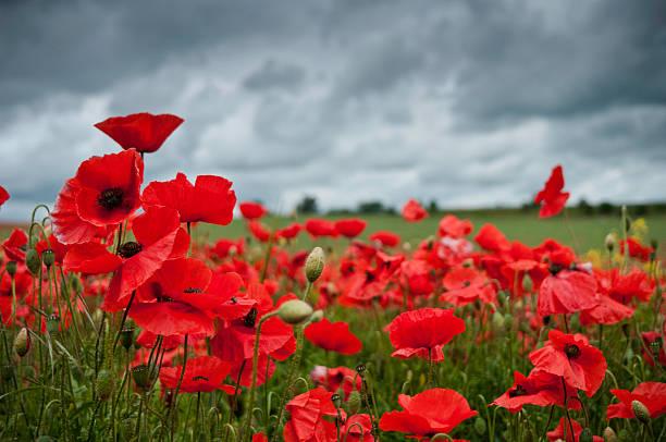 red poppies, bedeckter himmel wolken, großbritannien - mohn stock-fotos und bilder
