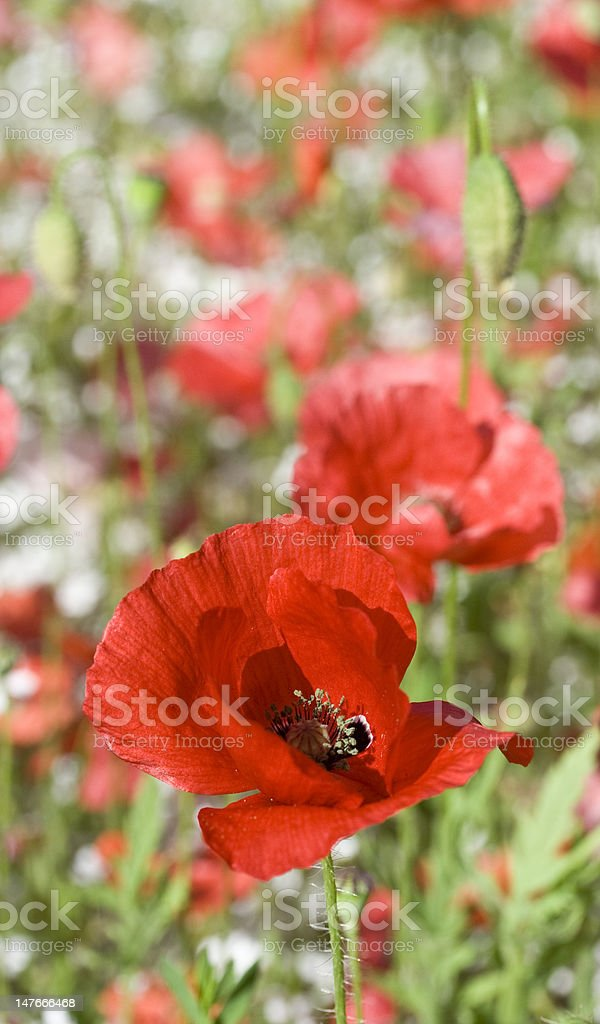 red poppies in a meadow stock photo