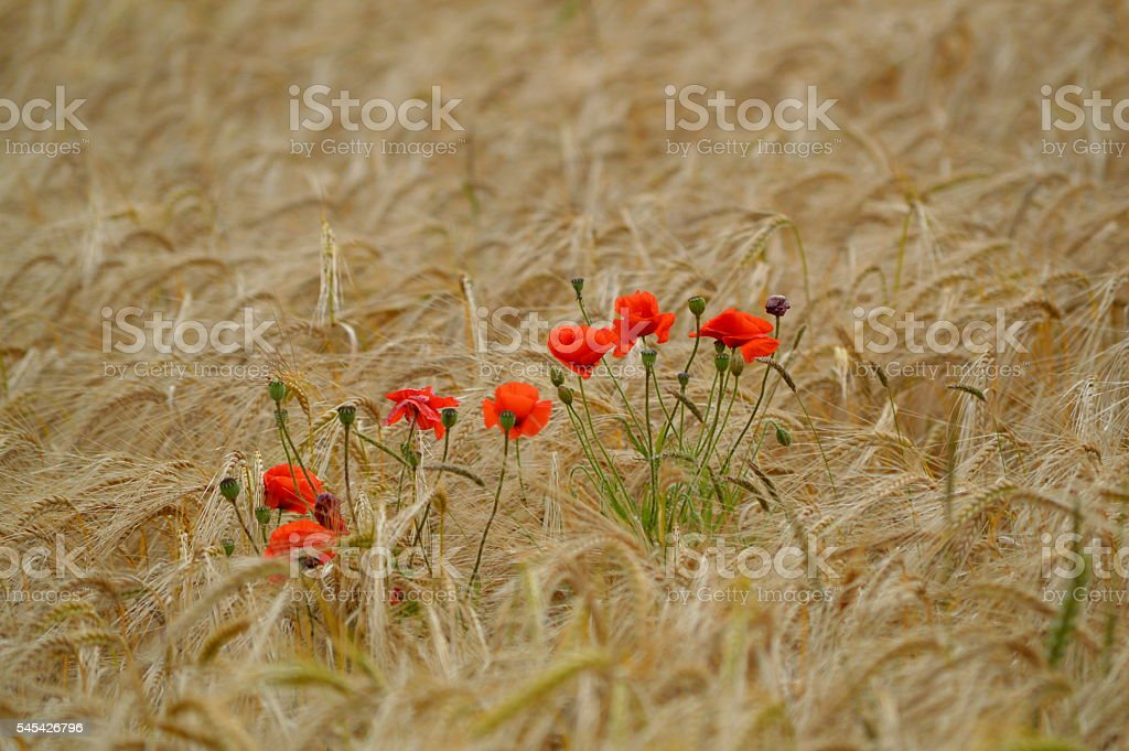 Red poppies in a wheat field. stock photo