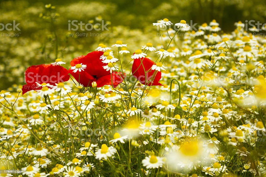 Red poppies in daisy field royalty-free stock photo