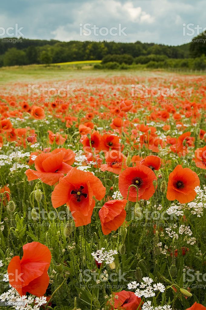 Red Poppies in Meadow Against Blue Sky with Clouds royalty-free stock photo