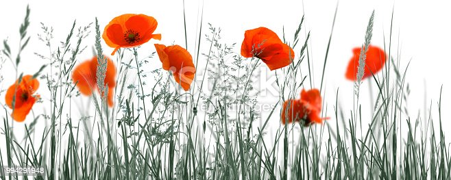 istock red poppies in monochrome meadow 994291948