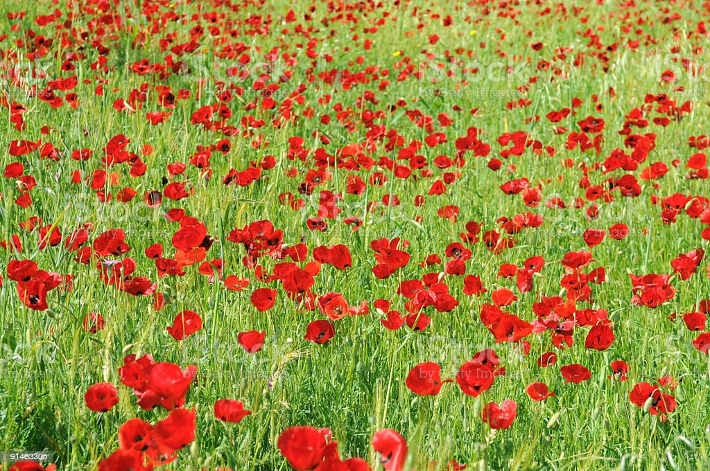 Red poppies in nature royalty-free stock photo