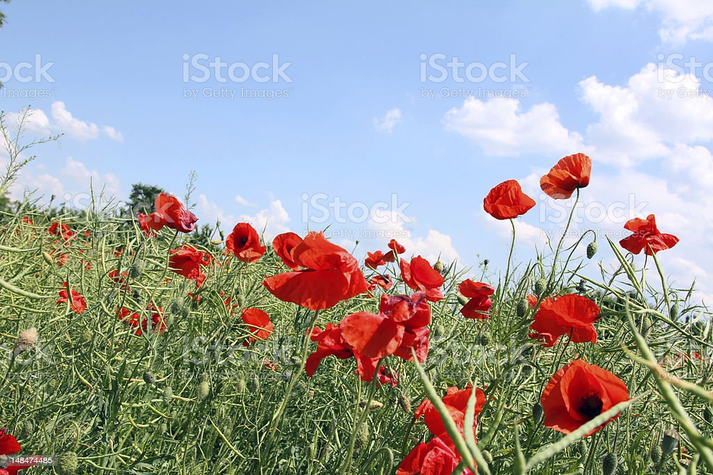 Red poppies in the field royalty-free stock photo